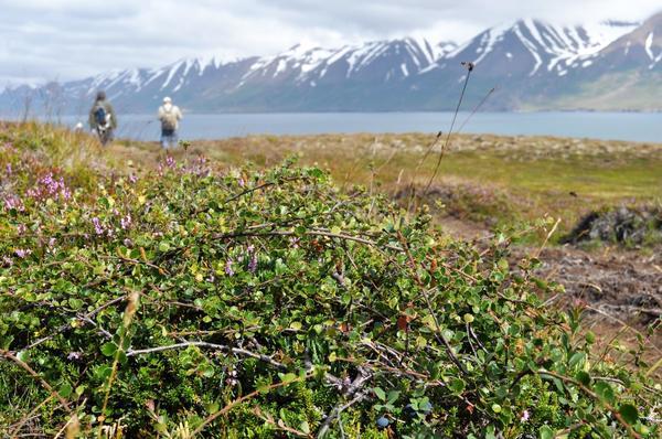 Заросли берёзы карликовой в Исландии. Фото с сайта herbologymanchester.wordpress.com