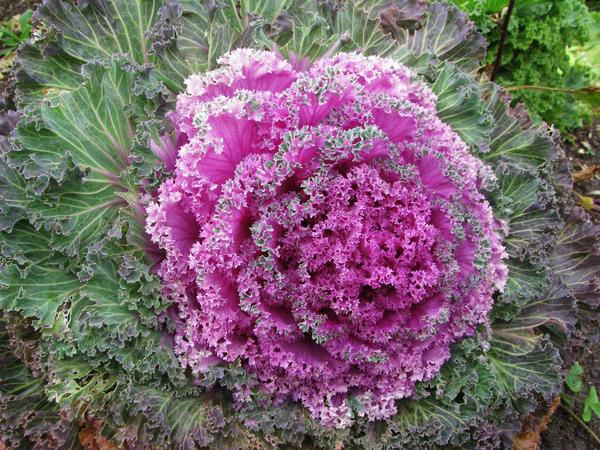 Гибрид Kamome Pink F1. Фото с сайта plantarium.ru