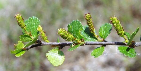 Зреющие серёжки берёзы карликовой. Фото с сайта commons.wikimedia.org