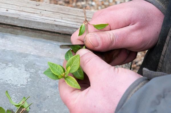 Черенкование чубушника. Фото с сайта outofmyshed.files.wordpress.com
