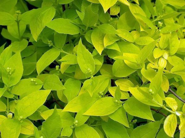 Садовый жасмин с золотистой листвой. Фото с сайта asienda.ru