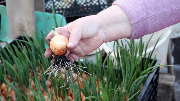Корневая система луковицы из мобильной грядки с почвой