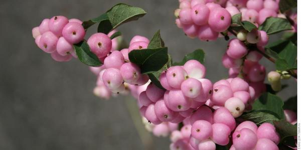 Снежноягодник с розовыми плодами. Фото с сайта lostintheflowers.com