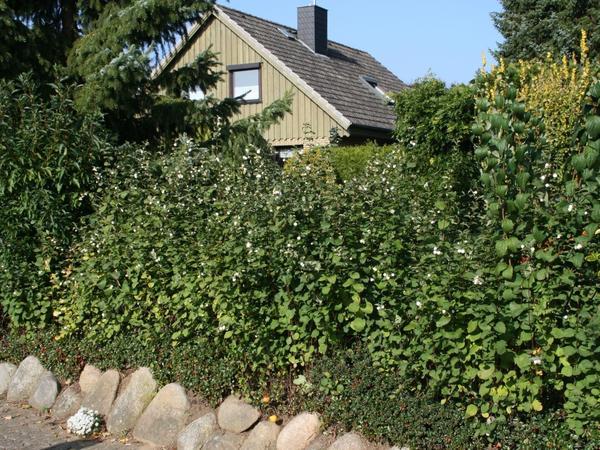 Живая изгородь их снежноягодника. Фото с сайта baumschule-horstmann.de