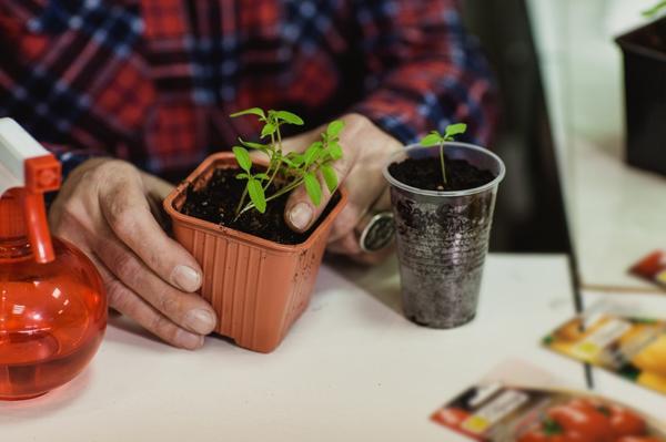 Пикировать томаты можно только после появления у сеянца 2-3-х настоящих листьев