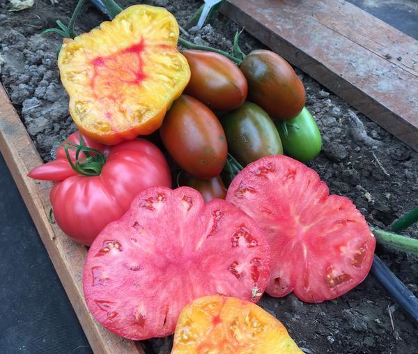 Посмотрите, до чего хороши наши томаты!