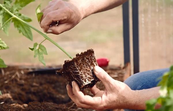 Следует лишить кустики семядолей и нижних 1-2 листов