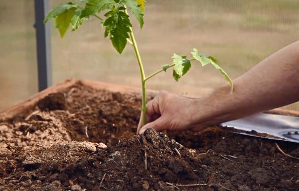 Саженец примеряем к лунке, при необходимости подсыпаем или удаляем часть земли