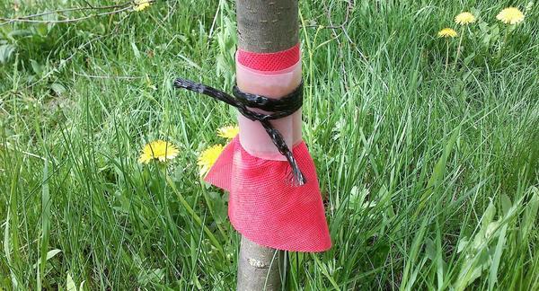 Насекомые ползут по стволу и попадают в тупик, из которого выбраться не удаётся. Фото с сайта parazit.guru