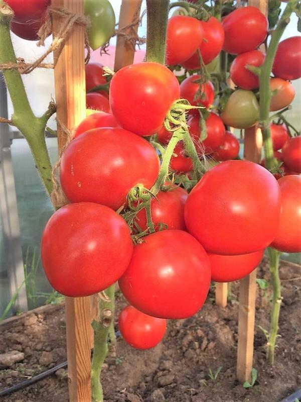 Томат Антюфей F1. Урожайность 4,5-5 кг с куста