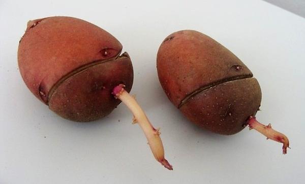 Надрезы на клубне картофеля, стимулирующие прорастание спящих почек. Фото с сайта plodorodie.ru