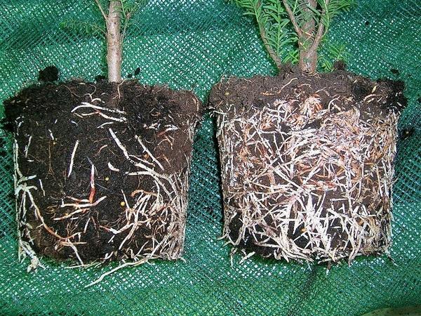 Корневая система черенков без использования и с использованием биостимуляторов. Фото с сайта agroinfo.com