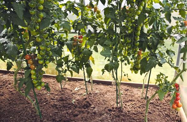 Двухрядная посадка индетерминантного томата Черри Люба F1, формирование в 2 стебля