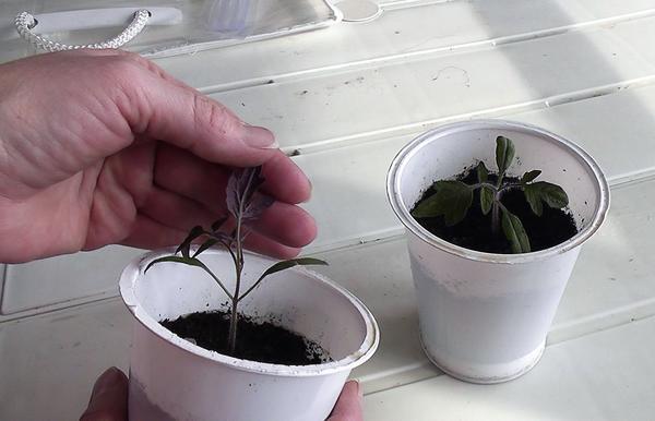 Один из признаков нехватки фосфора - изменение цвета растений на фиолетовый