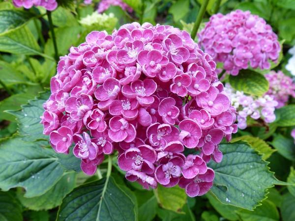 Гортензия крупнолистная серии Hovaria Hopcorn. Фото с сайта pinterest.com