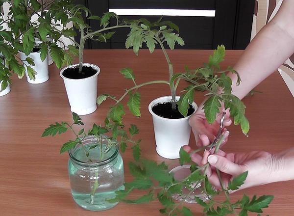 Убираем лишние листья и ставим в воду