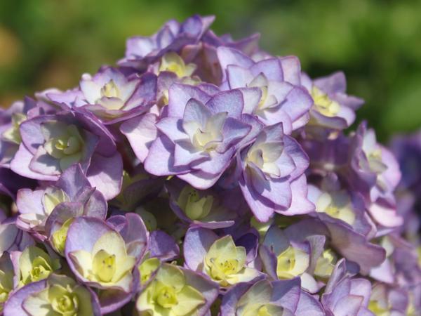 Цветки гортензии крупнолистной You&Me Together. Фото с сайта baumschule-horstmann.de