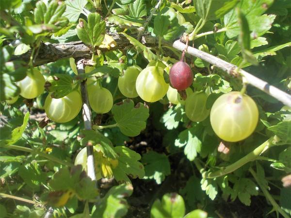 Преждевременно созревшие ягоды - признаки деятельности огневки. Фото автора.