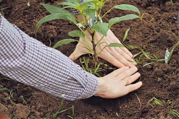 Уплотняем почву при высаживании гибрида Ливадия F1