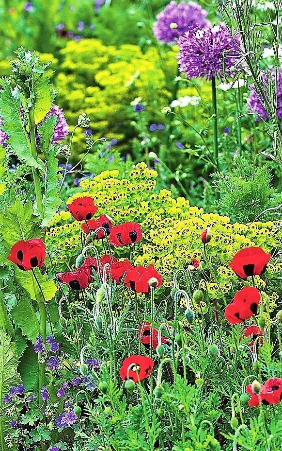 Мак измененный Ladybird цветет с июля до сентября