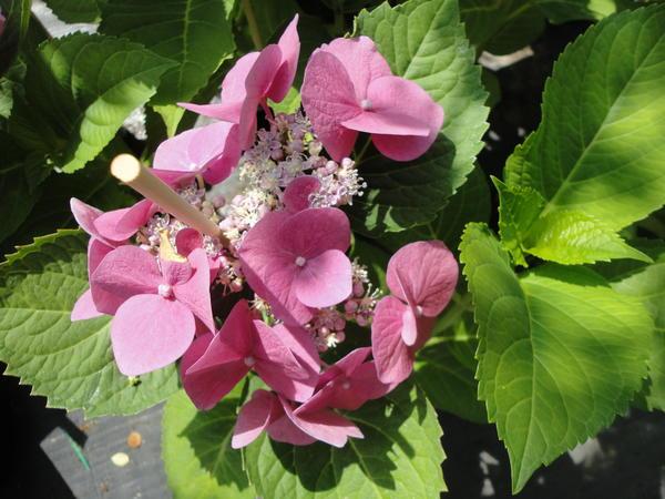 Лето – пора, когда в садовых центрах появляются великолепные цветущие гортензии. Фото автора