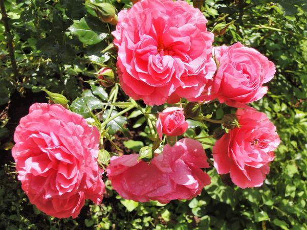 Каждый побег розы должен заканчиваться либо одним бутоном, либо целым соцветием. Фото автора