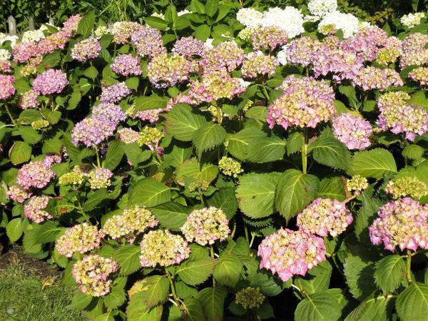 При хорошем питании макрофилы цветут пышно и долго. Фото автора