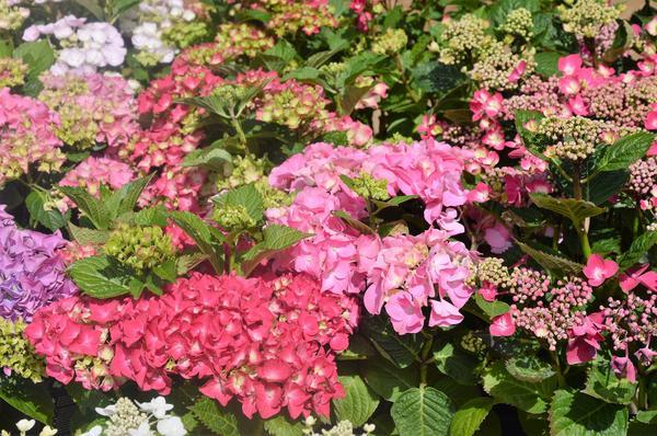 Цветут гортензии крупнолистные. Фото автора