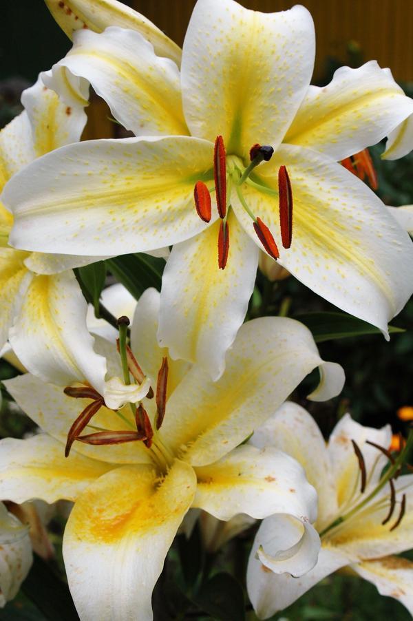 Изысканные цветы с загнутыми кончиками лепестков