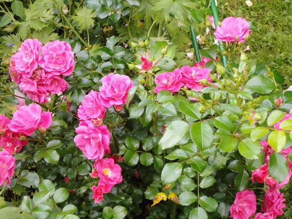 Роза Palmengarten Frankfurt, непрерывно цветущая все лето напролет. Фото автора