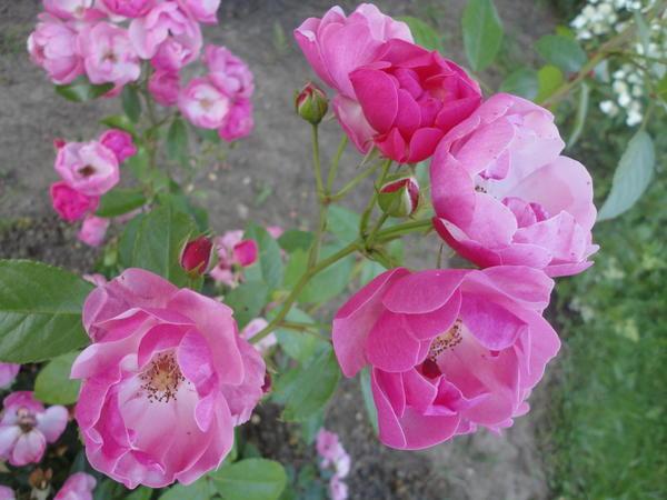 Angela - яркая представительница романтического направления в селекции роз. Фото автора