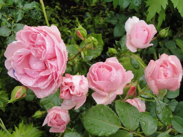 Восхитительные розы. Фото автора