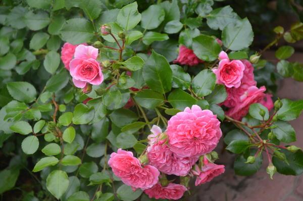 Мейяновская роза Les Quatre Saisons само название говорит о ее непрерывном цветении. Фото автора