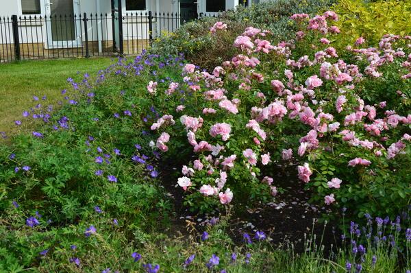 Bonica 82 любимый цветок английских садовников. Фото автора