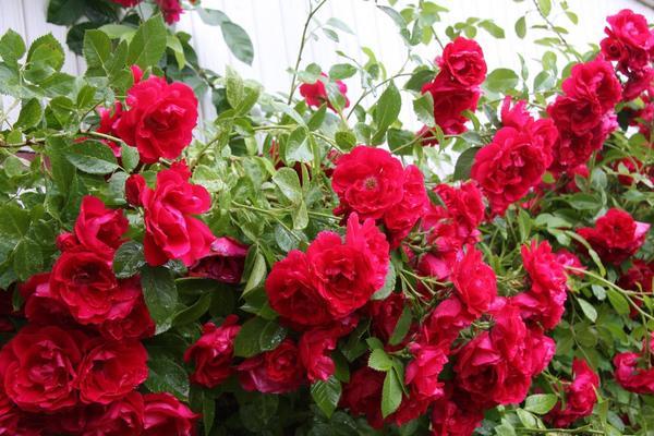 Плетистая роза Flammentanz. Фото с сайта kauppa.puutarhatalo.fi