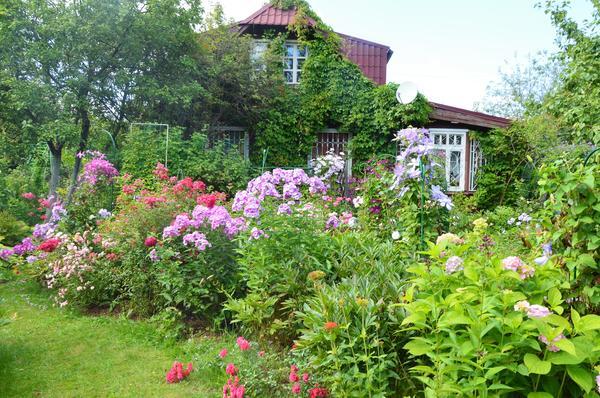 Прекрасные сорта займут своё место в саду. Фото автора