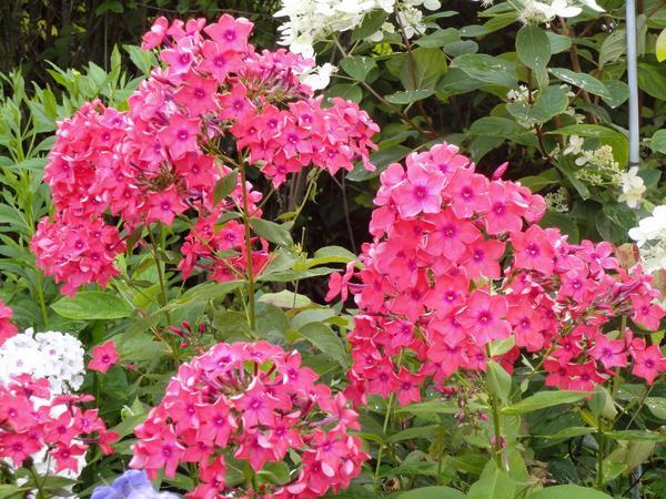 Флоксы лучше цветут на открытом месте. Сорт Юбилейный. Фото автора