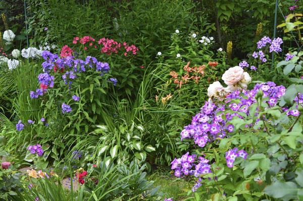 Пышное цветение флоксов украшает сад в августе. Фото автора