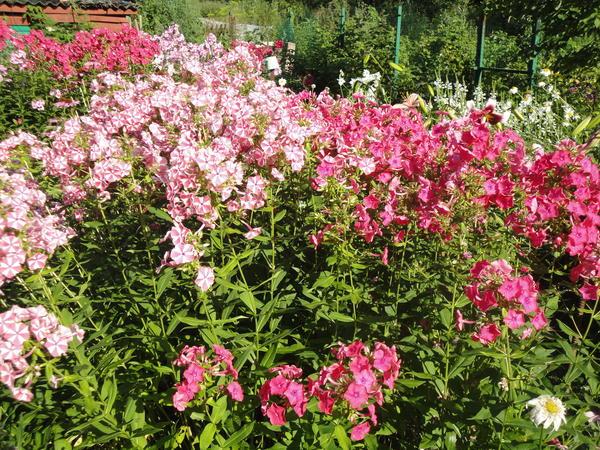 В небольшом саду можно устроить смешанный ситцевый цветник. Фото автора