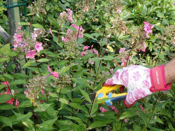 Срезаем шапки цветков по мере отцветания. Фото автора