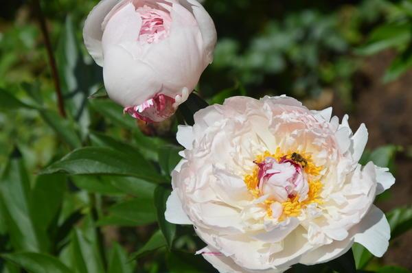 На кусте одновременно находятся цветки в различной стадии роспуска. Фото автора