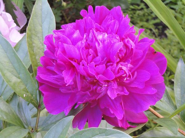 Цветок пиона сорта Аркадий Гайдар. Фото автора