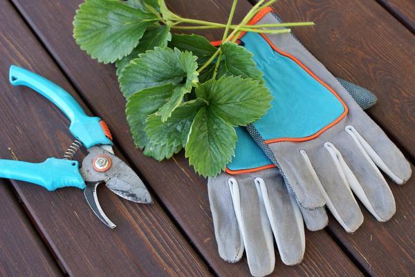 Нужно ли обрезать садовую землянику осенью