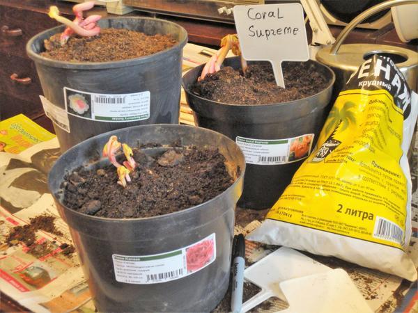 Делёнки, купленные весной, необходимо высадить в горшки. Фото автора