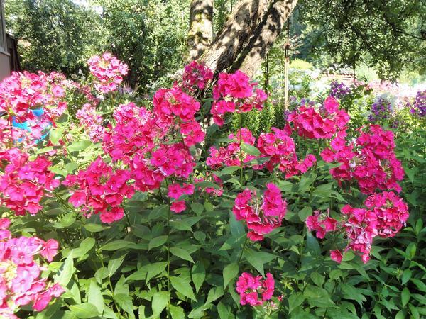 Флоксы в саду. Фото автора