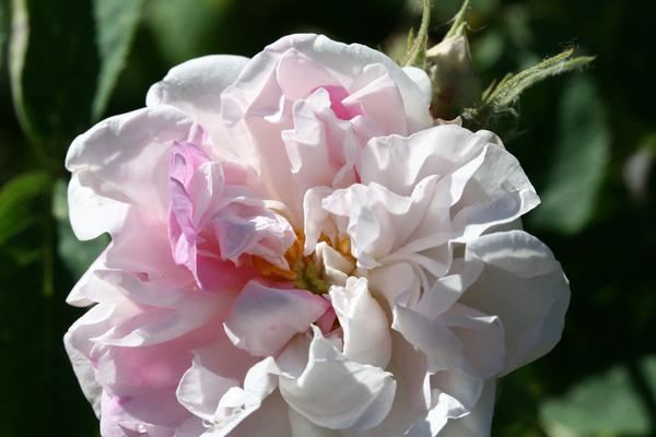 Роза York & Lancaster. Фото с сайта oldroses.nl