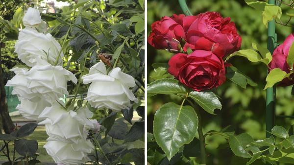 Слева: белые розы боятся дождя. Справа: красный сорт Red Eden Rose страдает и от дождя, и от яркого солнца. Фото автора