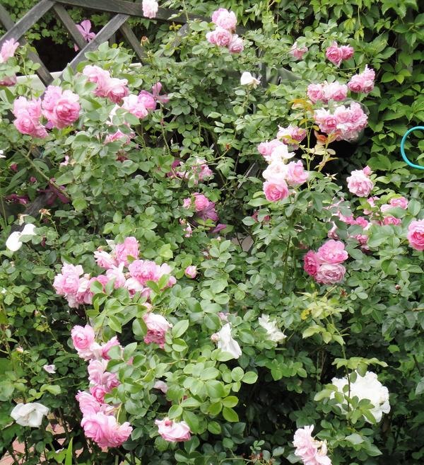 Ароматная роза Jasmina. Фото автора