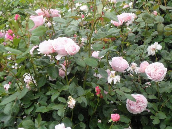 Романтическая роза. Фото автора