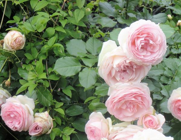 Бутоны Eden Rose в дождливое лето распускаются с трудом